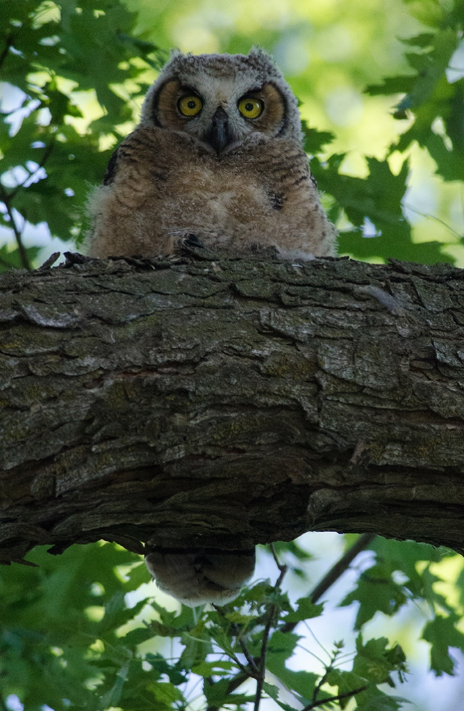 Fledgling great horned owl--a fellow fan of imperfection.