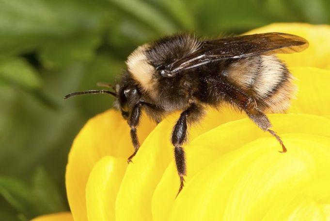 western bumblebee.jpg